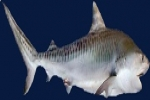 Scientists discover a new tiger shark hunting technique