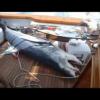 Shark Video 1000 LB Mako Caught During Fishing Tournament