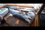 Shark Video 1000 LB Mako Caught During Fishing Tournament