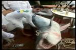 1000-Pound Mako caught in Florida