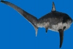 Responsibly Sourced Pacific Common Thresher Shark Now Available