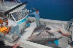 Japan: Shark Cull in Okinawa