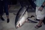 Huge Thresher Shark caught in Florida