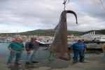Sixgill Shark caught in the Azores Islands