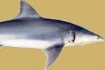 Protected Sharks disallowed in Alabama Tournament – Sandbar sharks