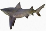 Fishermen asked to keep watch for rare river shark Australias Northern Territory