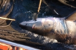 Great White Shark caught in Japan