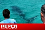 Egypt Trapped Whale Shark Saved