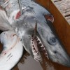 Longfin Mako Shark killed in Alabama Tournament