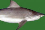 Louisiana: Commercial Fishing for Large Coastal Sharks Closed