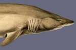 Sand Tiger Shark Nursery Discovered in New York Waters