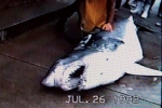 1992: Former Delaware State record mako shark 942 pounds at that Indian River Inlet