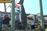 538 Pound Thresher Shark Caught at Monster Shark Tournament- Oak Bluffs (07-22-11)