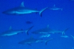 Shark Video: Big Shark Gathering in French Polynesia