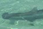 Hammerhead shark footage in popular snorkeling area