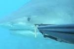 Tiger Shark encounter in Hawaii July 24, 2011