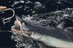 Shark Video Part 2 Shark Finning in Brazil Globo Mar Documentary