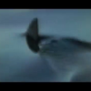 Shark Video June 2011 Shark in Capraia Italy