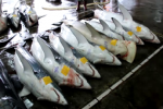 Shark Video Taiwan Sharks at auction in Nanfangao 03 2011