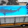 Whale shark debuts at Japan aquarium as another goes free