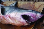 Great White Shark caught in Canada