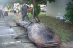 Whale shark washed up on beach in Taiwan