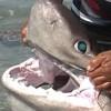 Sixgill Shark netted in Turkey