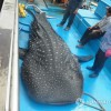 Whale Shark captured in Korea