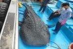 Whale Shark captured in Korea