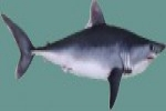 EU: More Protection for Porbeagle sharks