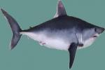 US Porbeagle Shark Fishery to be Closed
