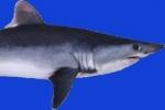 Shark Trust criticises Dutch Porbeagle Auction