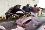 Sixgill Shark caught in Martinique
