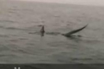 Thresher Shark filmed feeding off Devon England