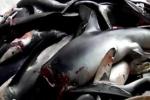 Azores Shark Fishery
