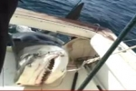 Big Tiger Shark caught in Outcast Shark Tournament 2011