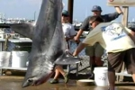 Porbeagle shark caught in 2011 Casco Bay Classic Tournament