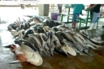 Shark Fisheries in Thailand