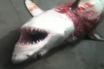White Shark caught by Anglers in California