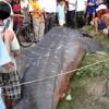Whale shark caught in Vietnam