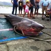 Sixgill Shark caught in Italy