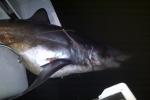 Angler catches big Mako Shark in California