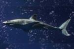 Monterey aquarium gets great white shark