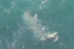 Great Hammerhead attacks Nurse Shark in Florida Keys
