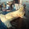 Sharks at Dibba Port United Arab Emirates