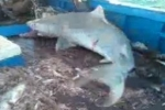 Part 1 – Tiger Shark caught by trawler in Brazil