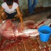 Sixgill Shark caught in Albania