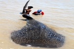 Whale Shark caught in Indonesia