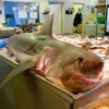 Porbeagle shark displayed by UK fishmonger