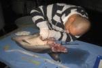 Suspected shark predation on dolphin in Italy
